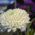 White Chrysanthemum Flower by David Zanzinger