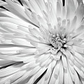 White Chrysanthemum by Julia Hiebaum