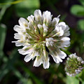 White Clover by James Pinkerton