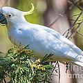 White Cockatoo by B.G. Thomson