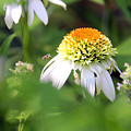 White Coneflower by Carolyn Stagger Cokley
