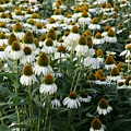 White Coneflower Field by Christiane Schulze Art And Photography