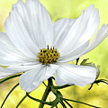 White Cosmos Floral by Jacqi Elmslie