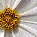 White Cosmos by Jacqueline Milner