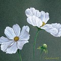 White Cosmos by Phyllis Howard