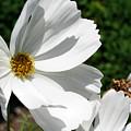 White Cosmos by Smilin Eyes  Treasures