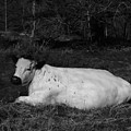 White Cow Luxuriates by Adrian Wale