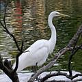 White Crane by Justin Hiatt