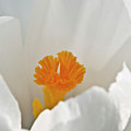 White Crocus by Brian Roscorla