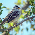 White-crowned Sparrow 0033-111017-1cr by Tam Ryan