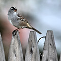 White-crowned Sparrow 2 by Ericka Finn