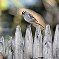 White-crowned Sparrow 3 by Ericka Finn