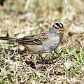 White-crowned Sparrow by Bonfire Photography