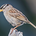 White-crowned Sparrow by Carl Olsen
