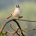 White Crowned Sparrow by Laura Mountainspring