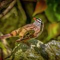 White Crowned Sparrow by LeeAnn McLaneGoetz McLaneGoetzStudioLLCcom