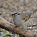 White Crowned Sparrow With Seeds by Laura Mountainspring