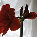 White Curtain Red Amaryllis by Robin Maria Pedrero