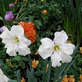 White Daffodills by Alice Markham