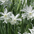 White Daffodils  by Judy Whitton