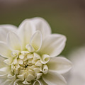 White Dahlia by Claire Farrell