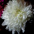 White Dahlia by Leanne Lei