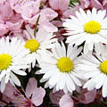 White Daisies Flowers Art Prints Spring Pink Blossoms Baslee by Baslee Troutman