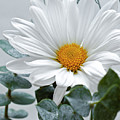 White Daisy by Dennis Reagan