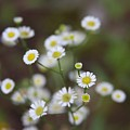 White Daisy by Kenna Westerman