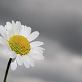 White Daisy by Sami Sarkis
