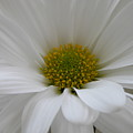 White Daisy by Shannon Turek