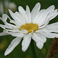 White Daisy by Smilin Eyes  Treasures