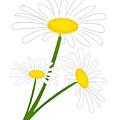 White Daisy by Svetlana Sewell