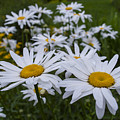 White Daisy by William Oakley