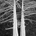 White Dead Trees by Crystal Wightman