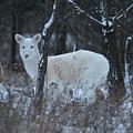 White Deer In Winter by Brook Burling