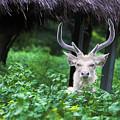 White Deer by Vasanth Kumar