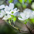 White Dogwood 2 by Karen Saunders
