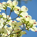 White Dogwood Flowers 1 Blue Sky Landscape Artwork Dogwood Tree Art Prints Canvas Framed by Baslee Troutman