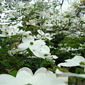 White Dogwood Flowers 6 Dogwood Tree Flowers Art Prints Baslee Troutman by Baslee Troutman
