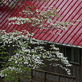 White Dogwood In The Rain by Mitch Spence