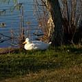 White Duck Resting by Seaux-N-Seau Soileau