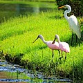 White Egret And Roseate Spoonbills by Vicki Dreher