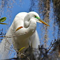 White Egret by Denise Mazzocco