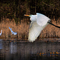 White Egret Flyby by Rick Fisk
