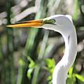 White Egret by Gene Weller
