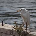 White Egret by HW Kateley