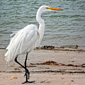 White Egret On Beach by Peg Runyan