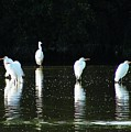 White Egrets by Marilyn Smith