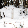 White Ermine by Leland D Howard